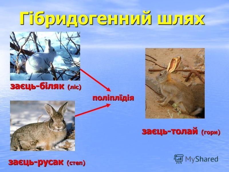 заєць-біляк (ліс) заєць-русак (степ) заєць-толай (гори) поліплїдія