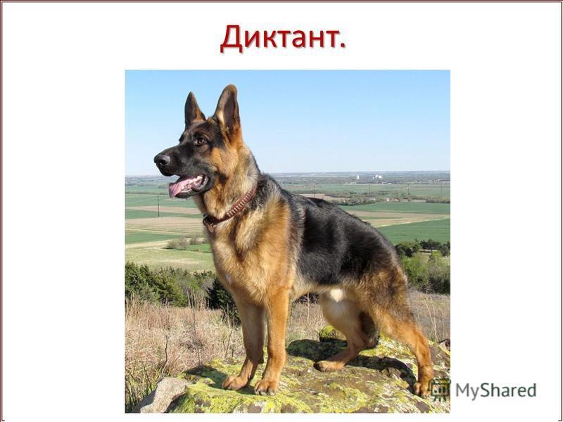 Диктант. Собака – лучший.. друг человека. Сколько, например, достоинств у неме.. ой овчарки! Прекрас..ный нюх, сила, ол..мпийск.. спокойствие, безграничнчрая преданность, благородство. Немецкчрая овчарка часто служит поводырём у слепых, пом..газет на