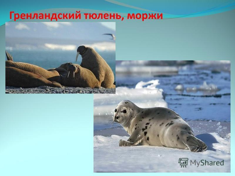 Гренландский тюлень, моржи
