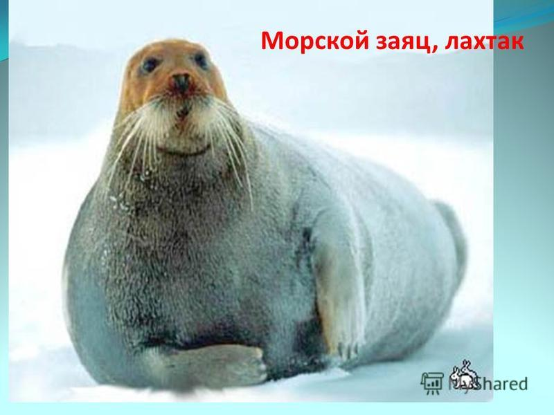 Морской заяц, лахтак