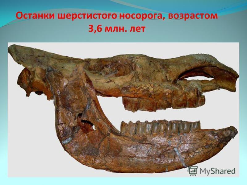 Останки шерстистого носорога, возрастом 3,6 млн. лет