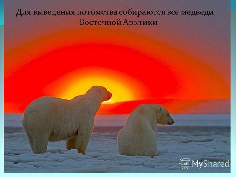 Для выведения потомства собираются все медведи Восточной Арктики