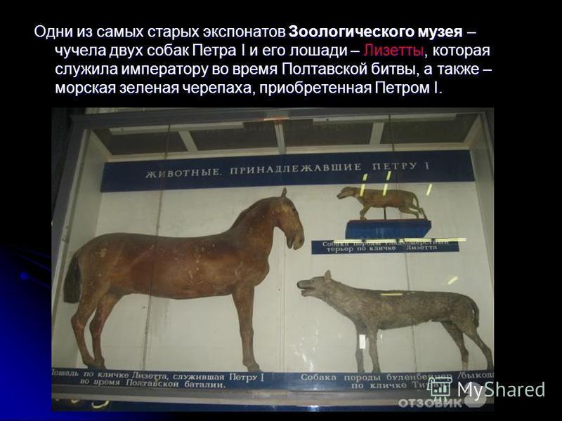 Одни из самых старых экспонатов Зоологического музея – чучела двух собак Петра I и его лошади – Лизетты, которая служила императору во время Полтавской битвы, а также – морская зеленая черепаха, приобретенная Петром I.