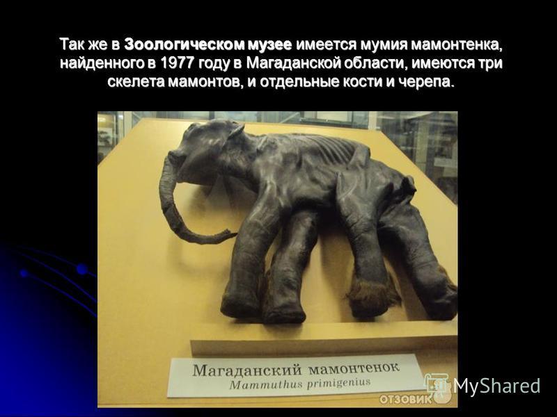 Так же в Зоологическом музее имеется мумия мамонтенка, найденного в 1977 году в Магаданской области, имеются три скелета мамонтов, и отдельные кости и черепа.