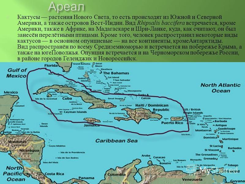 Кактусы растения Нового Света, то есть происходят из Южной и Северной Америки, а также островов Вест - Индии. Вид Rhipsalis baccifera встречается, кроме Америки, также в Африке, на Мадагаскаре и Шри - Ланке, куда, как считают, он был занесён перелётн