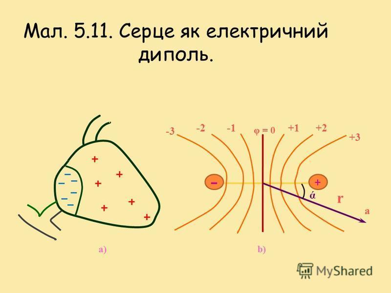Положення 1 Серце являє собою диполь. Збуджена ділянка міокарда негативно по відношенню до незбудженої ділянки (мал. 5.11). Такий розподіл заряду еквівалентний дипольній системі зарядів, яку можна характеризувати інтегральним електричним вектором сер