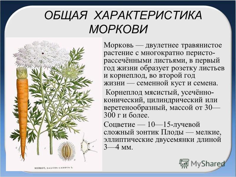 ОБЩАЯ ХАРАКТЕРИСТИКА МОРКОВИ Морковь двулетнее травянистое растение с многократно перисто- рассечёнными листьями, в первый год жизни образует розетку листьев и корнеплод, во второй год жизни семенной куст и семена. Корнеплод мясистый, усечённо- конич