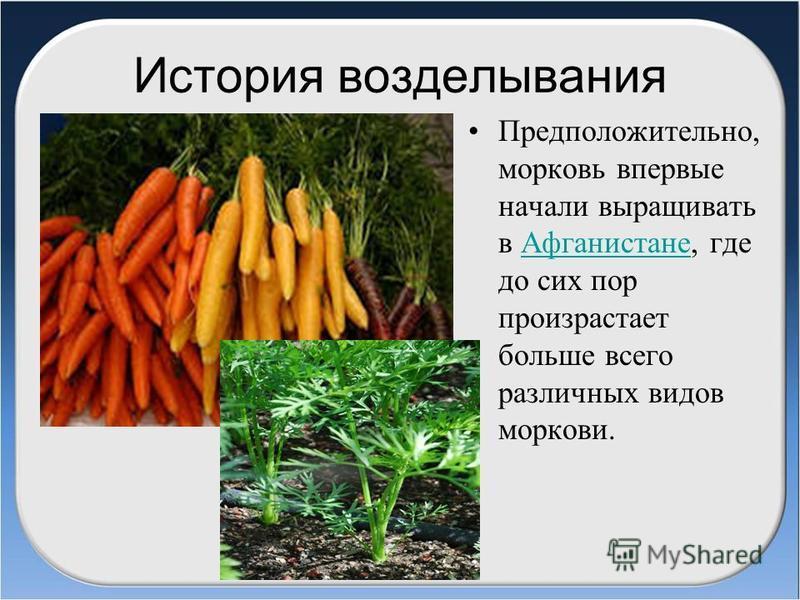 История возделывания Предположительно, морковь впервые начали выращивать в Афганистане, где до сих пор произрастает больше всего различных видов моркови.Афганистане