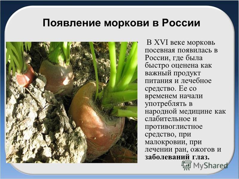 Появление моркови в России В ХVІ веке морковь посевная появилась в России, где была быстро оценена как важный продукт питания и лечебное средство. Ее со временем начали употреблять в народной медицине как слабительное и противоглистное средство, при