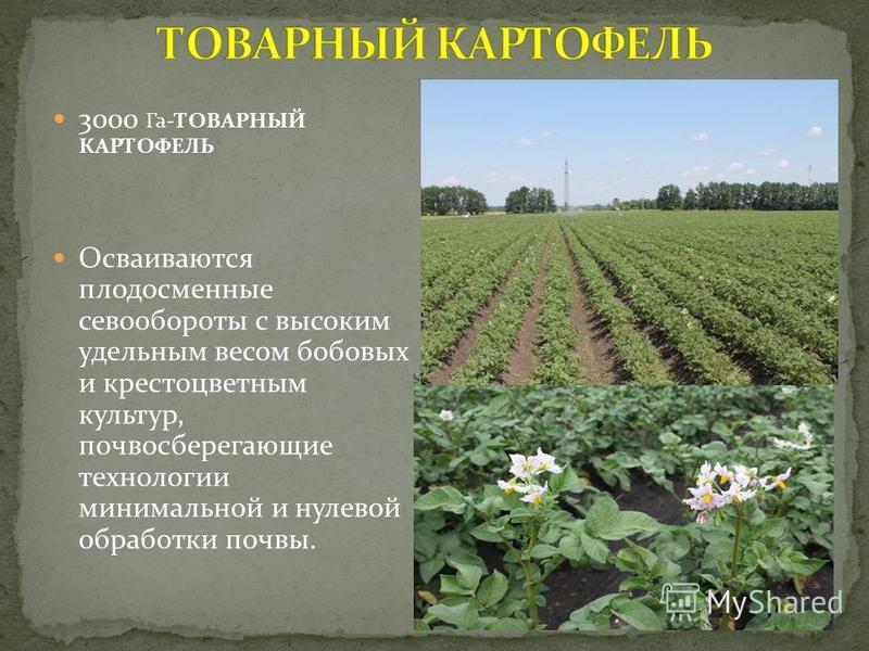 3000 Га-ТОВАРНЫЙ КАРТОФЕЛЬ Осваиваются плодосменные севообороты с высоким удельным весом бобовых и крестоцветным культур, почва сберегающие технологии минимальной и нулевой обработки почвы.