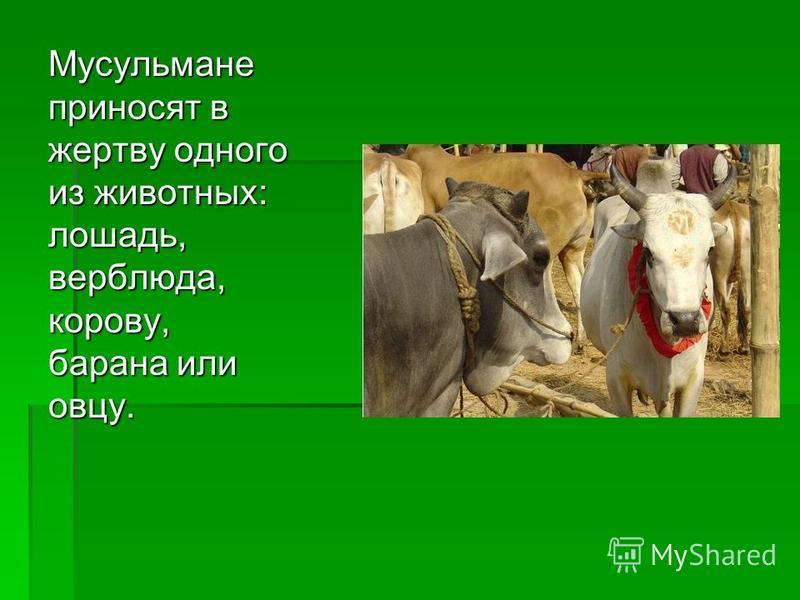 Мусульмане приносят в жертву одного из животных: лошадь, верблюда, корову, барана или овцу.