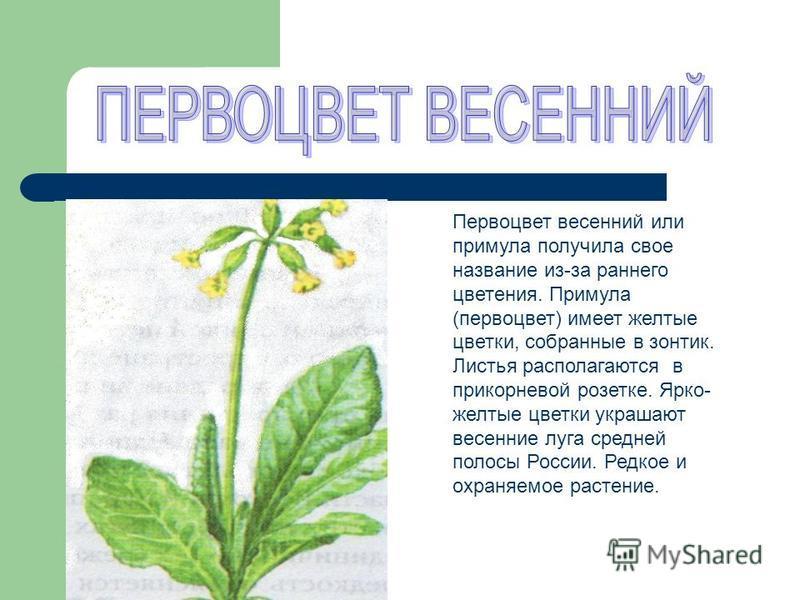 Первоцвет весенний или примула получила свое название из-за раннего цветения. Примула (первоцвет) имеет желтые цветки, собранные в зонтик. Листья располагаются в прикорневой розетке. Ярко- желтые цветки украшают весенние луга средней полосы России. Р