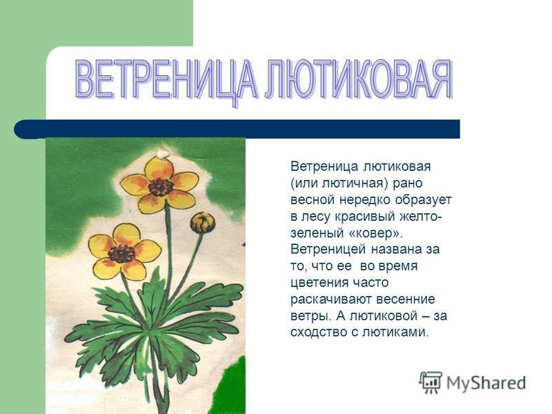 Ветреница лютиковая (или лютичная) рано весной нередко образует в лесу красивый желто- зеленый «ковер». Ветреницей названа за то, что ее во время цветения часто раскачивают весенние ветры. А лютиковой – за сходство с лютиками.