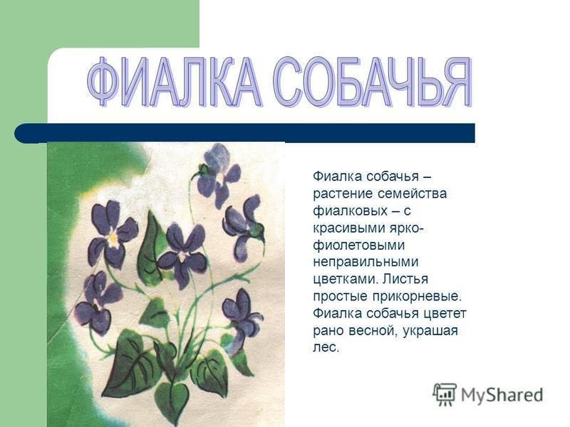 Фиалка собачья – растение семейства фиалковых – с красивыми ярко- фиолетовыми неправильными цветками. Листья простые прикорневые. Фиалка собачья цветет рано весной, украшая лес.