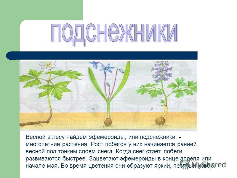 Весной в лесу найдем эфемероиды, или подснежники, - многолетние растения. Рост побегов у них начинается ранней весной под тонким слоем снега. Когда снег стает, побеги развиваются быстрее. Зацветают эфемероиды в конце апреля или начале мая. Во время ц