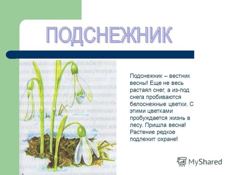Подснежник – вестник весны! Еще не весь растаял снег, а из-под снега пробиваются белоснежные цветки. С этими цветками пробуждается жизнь в лесу. Пришла весна! Растение редкое подлежит охране!