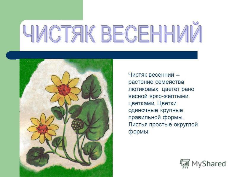 Чистяк весенний – растение семейства лютиковых цветет рано весной ярко-желтыми цветками. Цветки одиночные крупные правильной формы. Листья простые округлой формы.