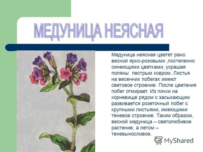 Медуница неясная цветет рано весной ярко-розовыми,постепенно синеющими цветками, украшая поляны пестрым ковром. Листья на весенних побегах имеют световое строение. После цветения побег отмирает. Из почки на корневище рядом с засыхающим развивается ро