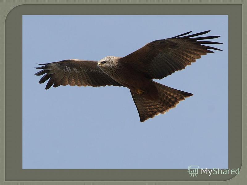 Черный коршун - Одна из самых многочисленных и характерных хищных птиц области. Селится в пойменных лесах, старых хвойниках, садах и смешанных лесах Численность высока. Наиболее плотные популяции приурочены в своем обитании к долине р. Волги, пойменн