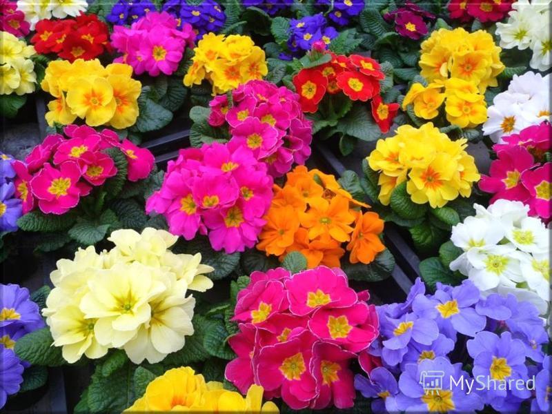 Эти цветы распускаются на опушках и полянах в самом начале мая. В народе цветы ласково называют баранчики. Это за то, что листья у молодых растений кудрявые, с завитыми краешками. Любима солнцем примула. Весна же ей для стимула То жаркий день преподн