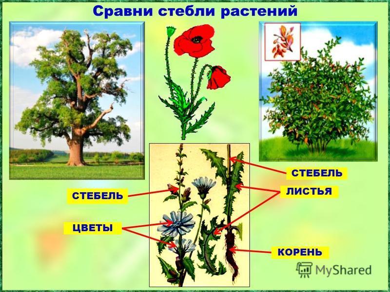 Сравни стебли растений СТЕБЕЛЬ ЛИСТЬЯ СТЕБЕЛЬ КОРЕНЬ ЦВЕТЫ