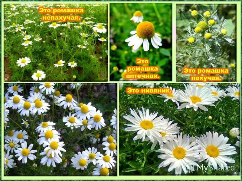 В разгар лета зацветает на полях и лугах земное солнышко. Но не стоит срывать эти цветы без надобности. Ведь ещё издавна это растение использовали в медицине как средство от детских болезней. На поляне у реки Гордо держат стебельки, Как фарфоровые ча