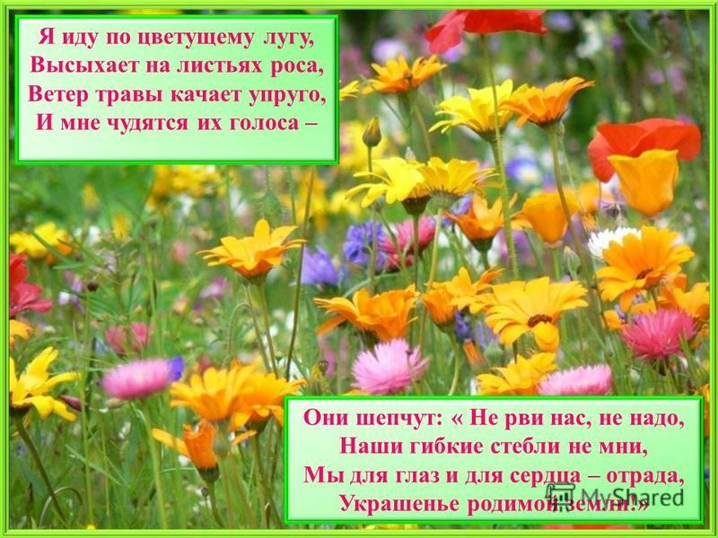 Я иду по цветущему лугу, Высыхает на листьях роса, Ветер травы качает упруго, И мне чудятся их голоса – Они шепчут: « Не рви нас, не надо, Наши гибкие стебли не мни, Мы для глаз и для сердца – отрада, Украшенье родимой земли!»
