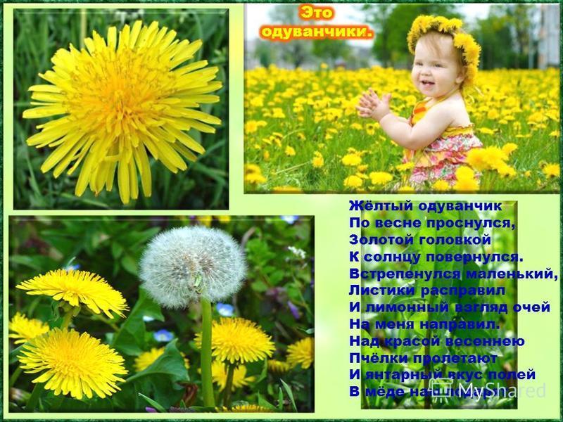 Лишь первые лучи солнца пригреют землю, как среди зелёной травы появляются золотисто – жёлтые цветы. Их можно увидеть растущими повсюду: и среди камней, и на огороде, и даже в расщелинах асфальта. Жёлтый одуванчик По весне проснулся, Золотой головкой