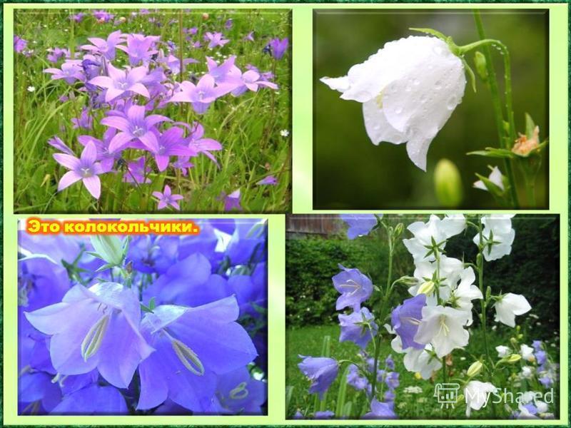 Этот цветок получил своё звонкое имя из – за сходства с колоколом. Среди этих цветов есть настоящие гиганты – до 2 метров, а есть и крохотные виды высотой всего несколько сантиметров. Эй, звоночки, синий цвет, С язычком, а звона нет.