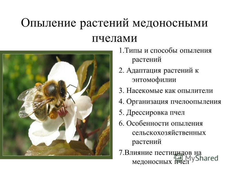 Опыление растений медоносными пчелами 1. Типы и способы опыления растений 2. Адаптация растений к энтомофилии 3. Насекомые как опылители 4. Организация пчелоопыления 5. Дрессировка пчел 6. Особенности опыления сельскохозяйственных растений 7. Влияние