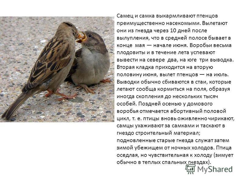Самец и самка выкармливают птенцов преимущественно насекомыми. Вылетают они из гнезда через 10 дней после вылупления, что в средней полосе бывает в конце мая начале июня. Воробьи весьма плодовиты и в течение лета успевают вывести на севере два, на юг