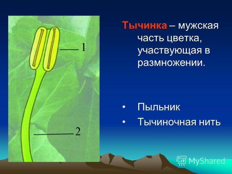 Тычинка – мужская часть цветка, участвующая в размножении. Пыльник Тычиночная нить