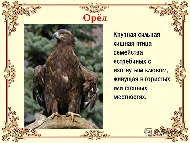 Орёл Крупная сильная хищная птица семейства ястребиных с изогнутым клювом, живущая в гористых или степных местностях.