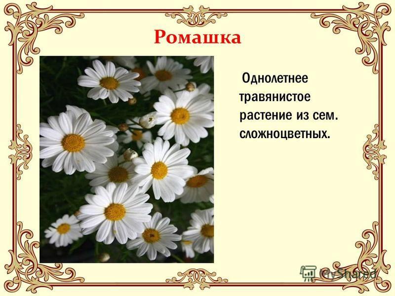 Ромашка Однолетнее травянистое растение из сем. сложноцветных.