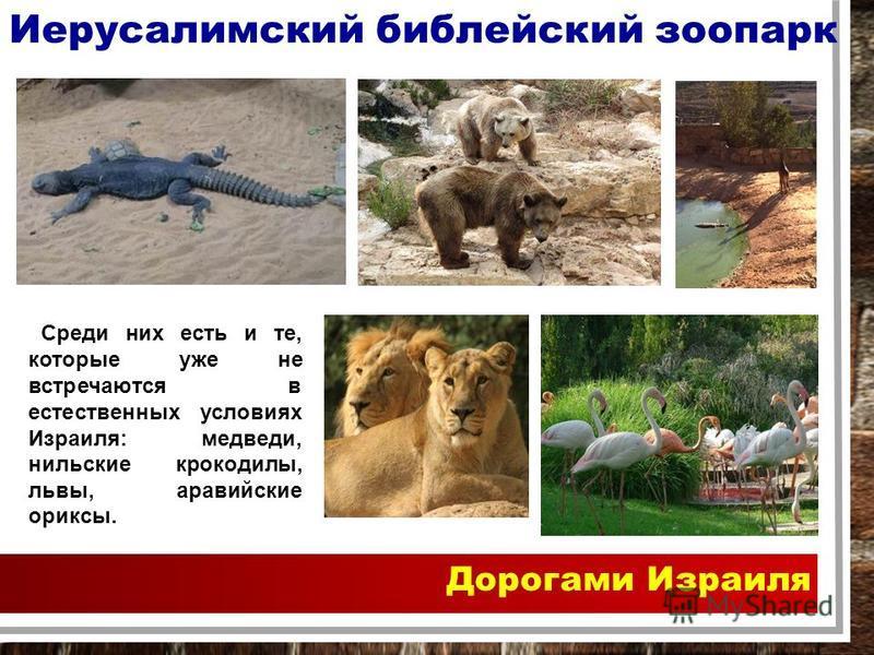 Дорогами Израиля Иерусалимский библейский зоопарк Среди них есть и те, которые уже не встречаются в естественных условиях Израиля: медведи, нильские крокодилы, львы, аравийские ориксы.