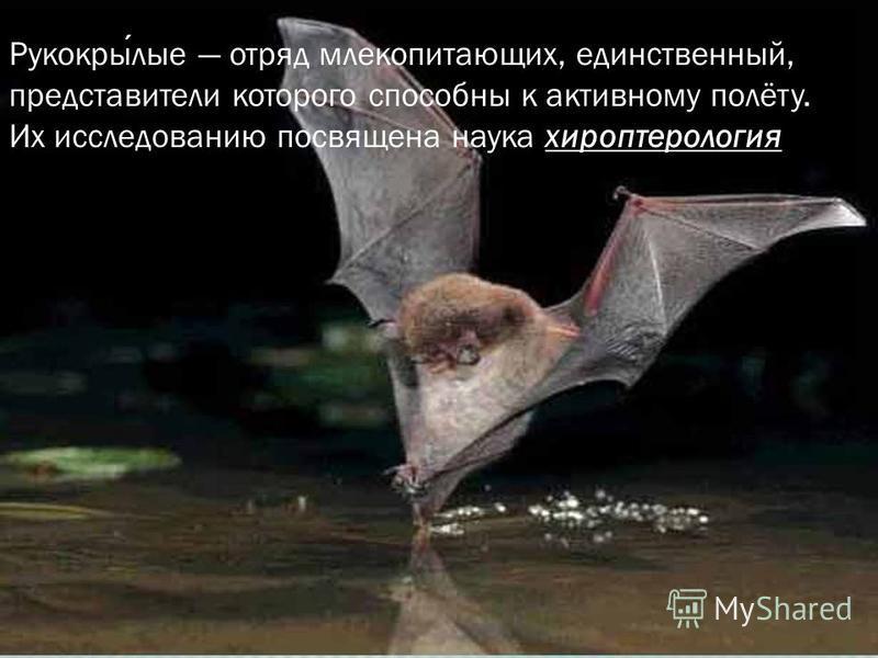 Рукокрылые отряд млекопитающих, единственный, представители которого способны к активному полёту. Их исследованию посвящена наука хироптерология