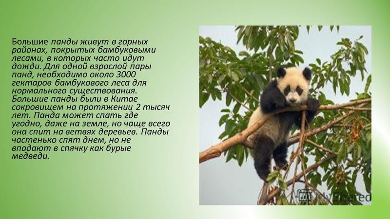 Большие панды живут в горных районах, покрытых бамбуковыми лесами, в которых часто идут дожди. Для одной взрослой пары панд, необходимо около 3000 гектаров бамбукового леса для нормального существования. Большие панды были в Китае сокровищем на протя