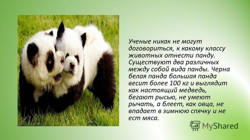 Ученые никак не могут договориться, к какому классу животных отнести панду. Существуют два различных между собой вида панды. Черна белая панда большая панда весит более 100 кг и выглядит как настоящий медведь, бегают рысью, не умеют рычать, а блеет,