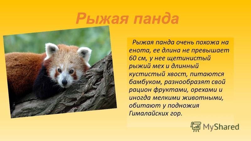 Рыжая панда Рыжая панда очень похожа на енота, ее длина не превышает 60 см, у нее щетинистый рыжий мех и длинный кустистый хвост, питаются бамбуком, разнообразят свой рацион фруктами, орехами и иногда мелкими животными, обитают у подножия Гималайских
