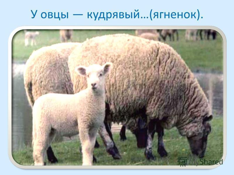 У овцы кудрявый…(ягненок).