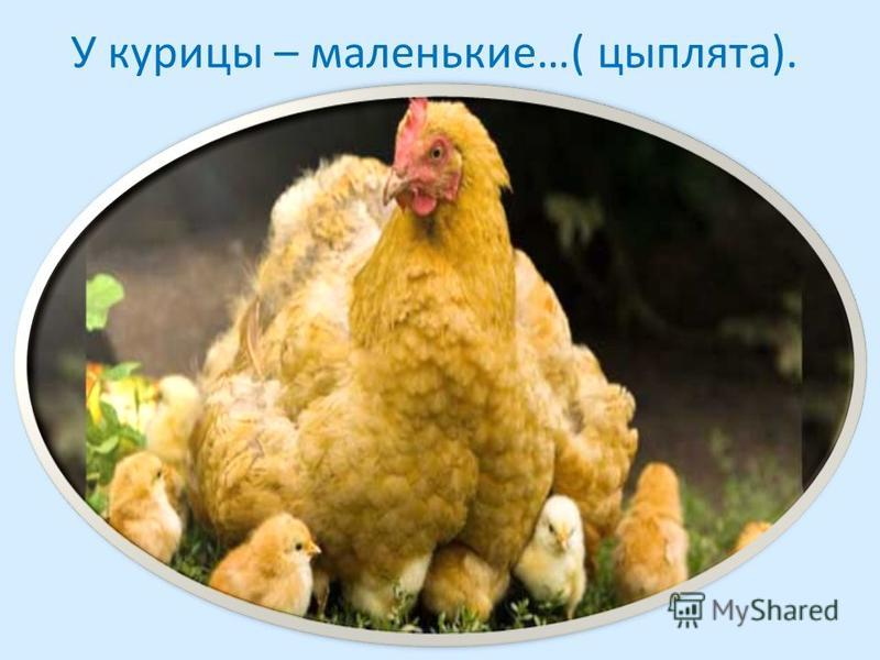 У курицы – маленькие…( цыплята).