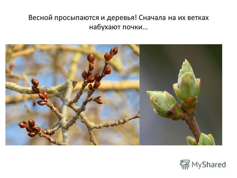 Весной просыпаются и деревья! Сначала на их ветках набухают почки…