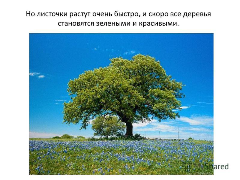 Но листочки растут очень быстро, и скоро все деревья становятся зелеными и красивыми.