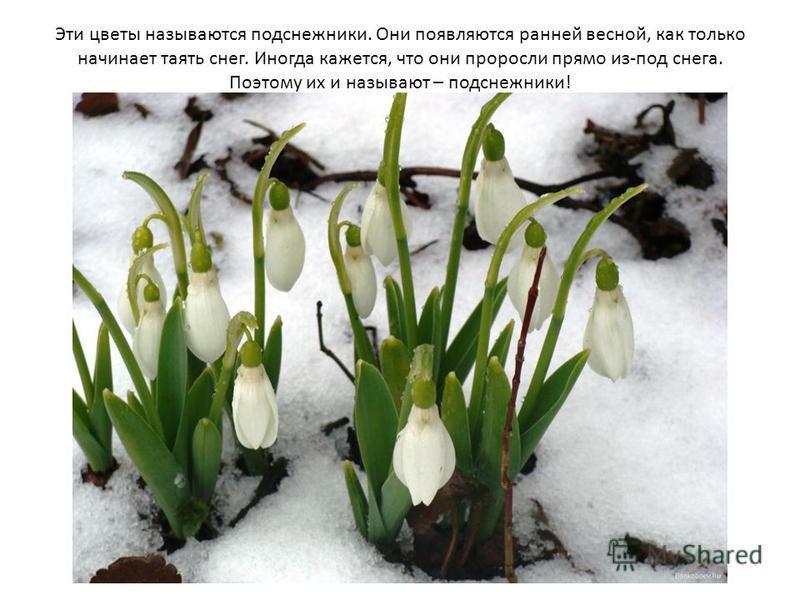 Эти цветы называются подснежники. Они появляются ранней весной, как только начинает таять снег. Иногда кажется, что они проросли прямо из-под снега. Поэтому их и называют – подснежники!