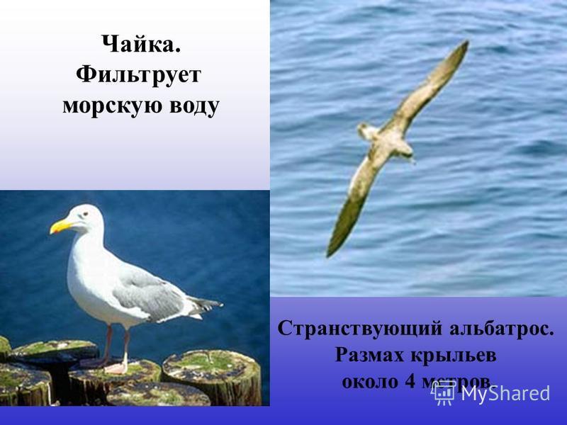 Странствующий альбатрос. Размах крыльев около 4 метров. Чайка. Фильтрует морскую воду