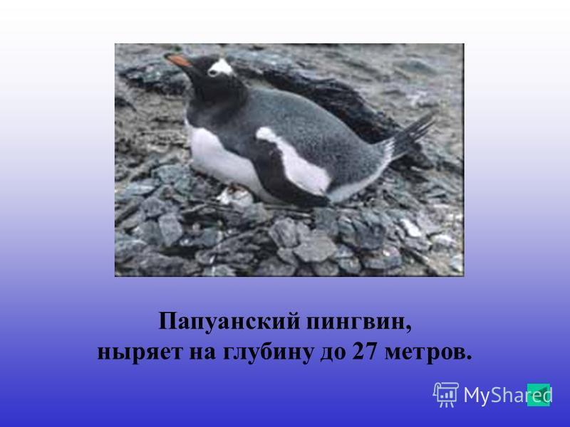 Папуанский пингвин, ныряет на глубину до 27 метров.