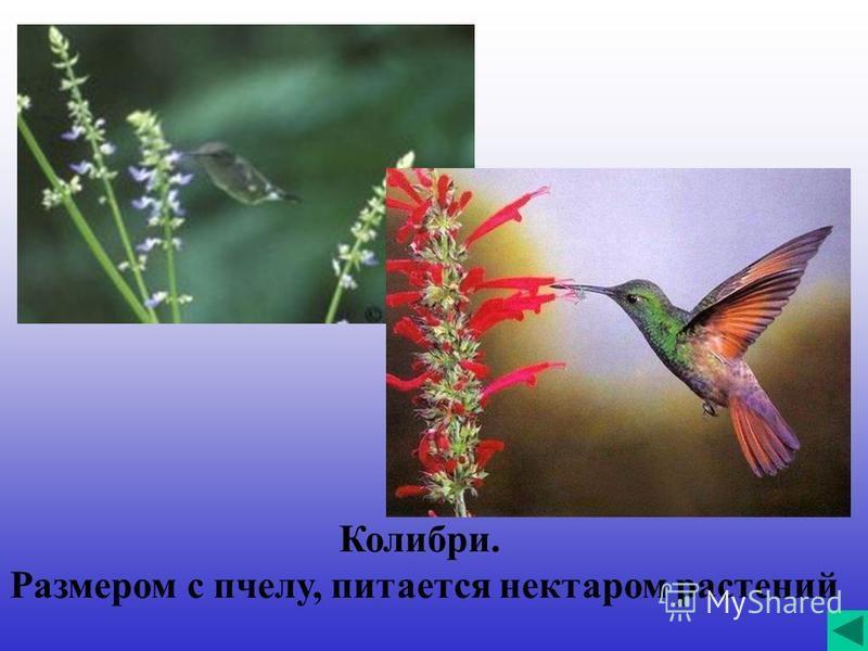Колибри. Размером с пчелу, питается нектаром растений