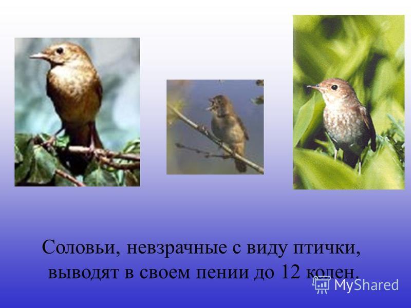 Соловьи, невзрачные с виду птички, выводят в своем пении до 12 колен.