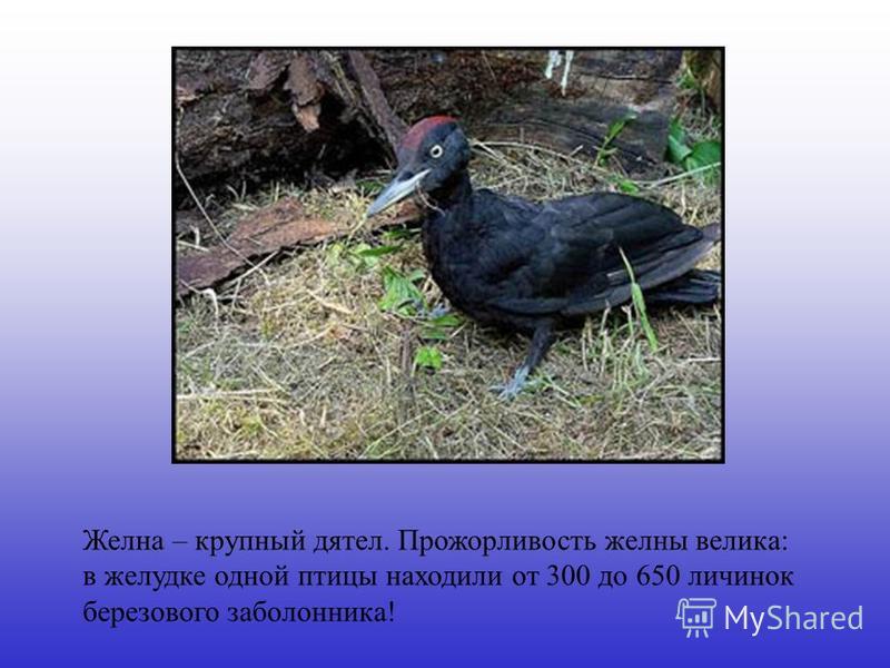 Желна – крупный дятел. Прожорливость желны велика: в желудке одной птицы находили от 300 до 650 личинок березового заболонника!