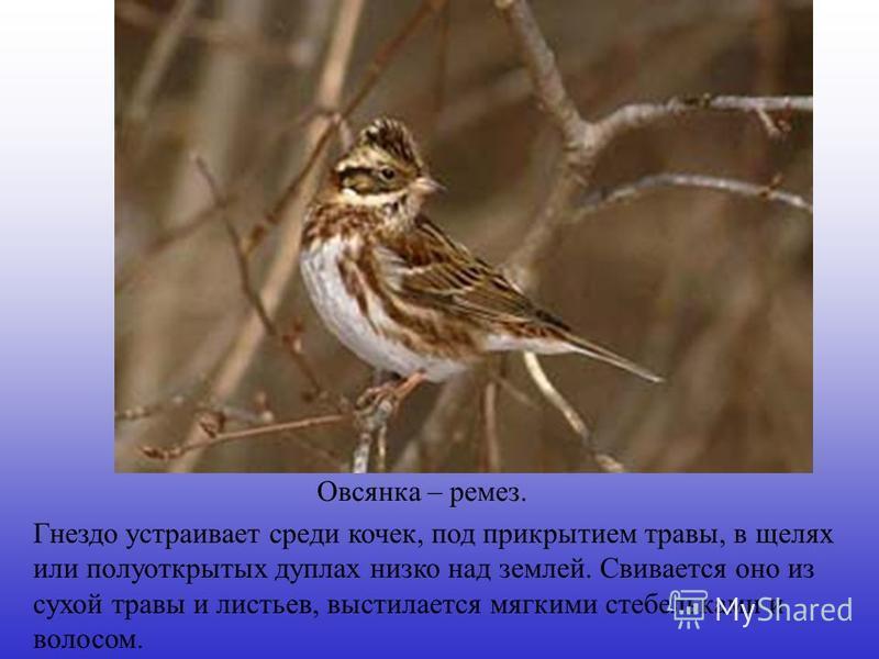 Гнездо устраивает среди кочек, под прикрытием травы, в щелях или полуоткрытых дуплах низко над землей. Свивается оно из сухой травы и листьев, выстилается мягкими стебельками и волосом. Овсянка – ремез.